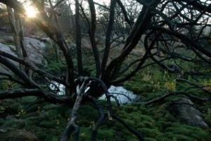 spindelträd
